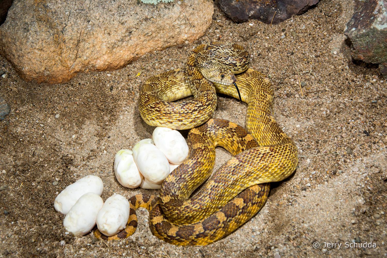 Gopher snake 6