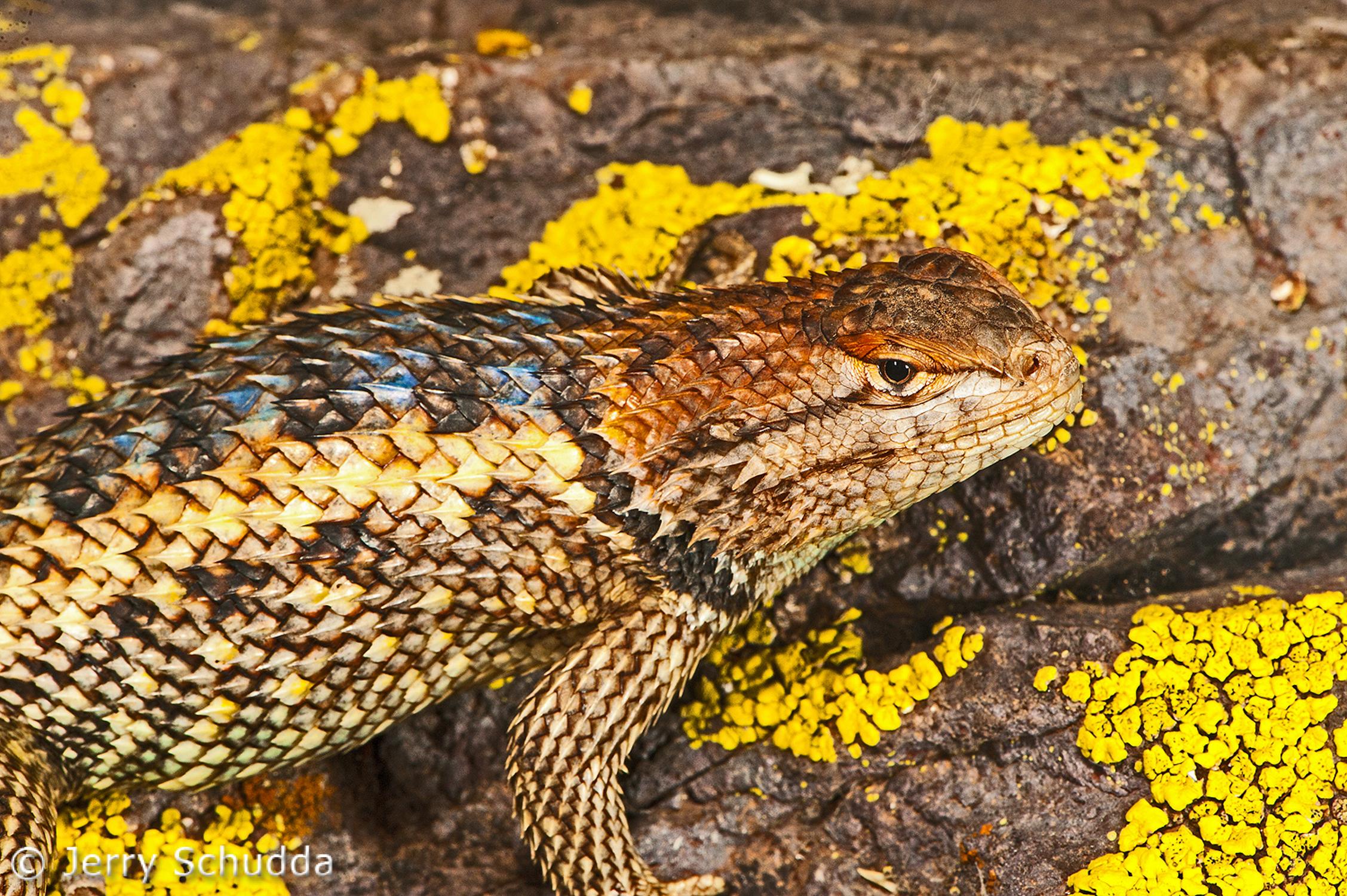 Desert Spiny Lizard 3