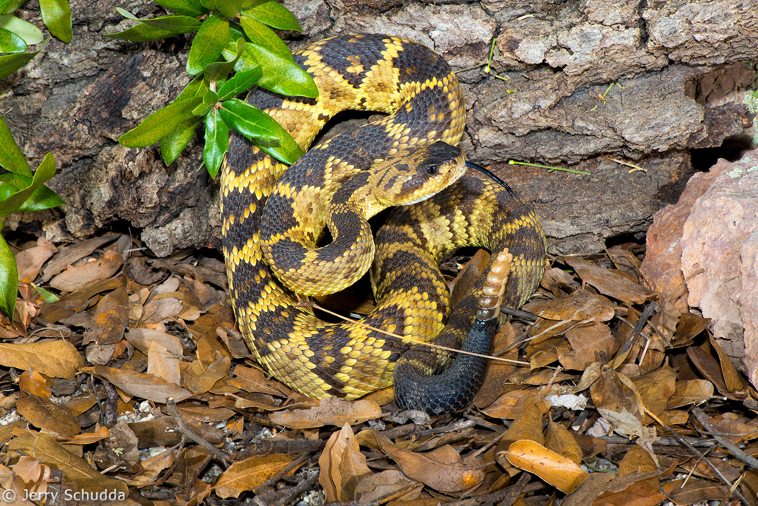 Black-tailed Rattlesnake 002