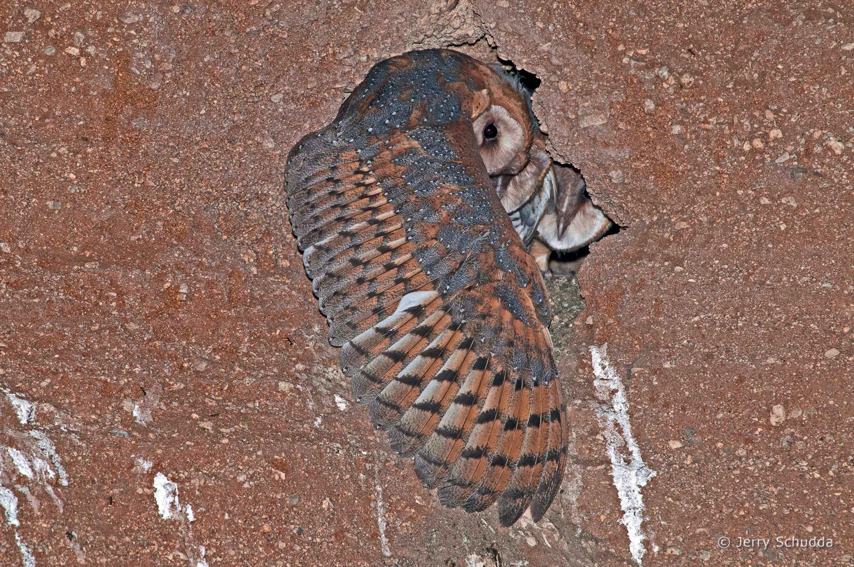 Barn Owls 4