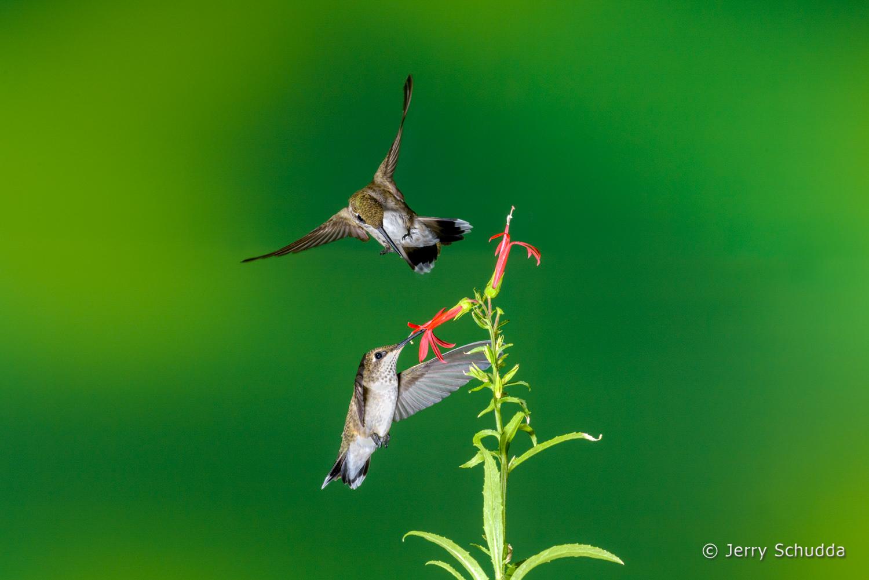 Black-chinned Hummingbird  6