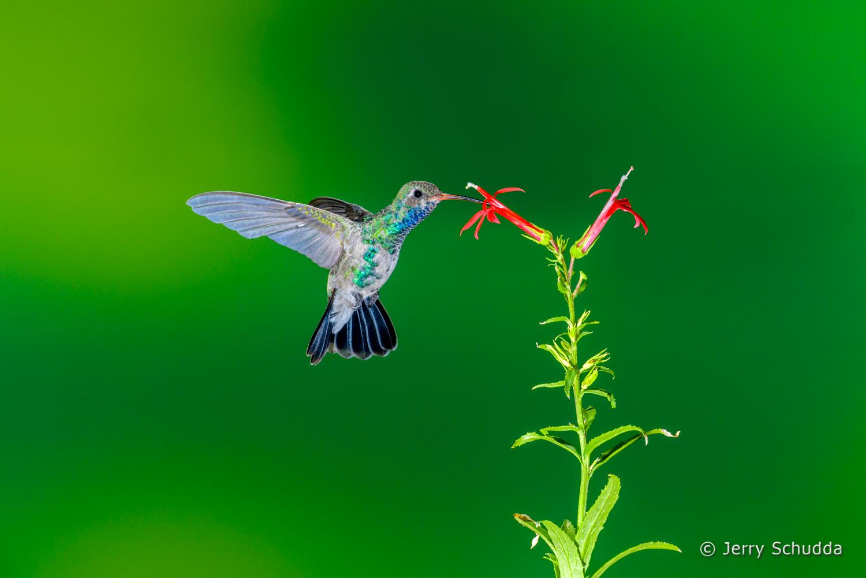 Broad-billed Hummingbird  3