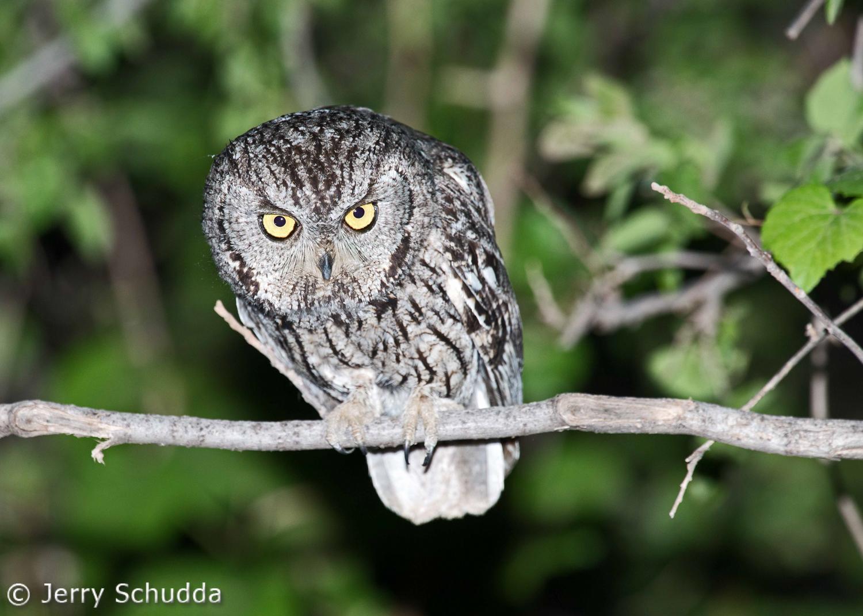 Western Screech Owl 1