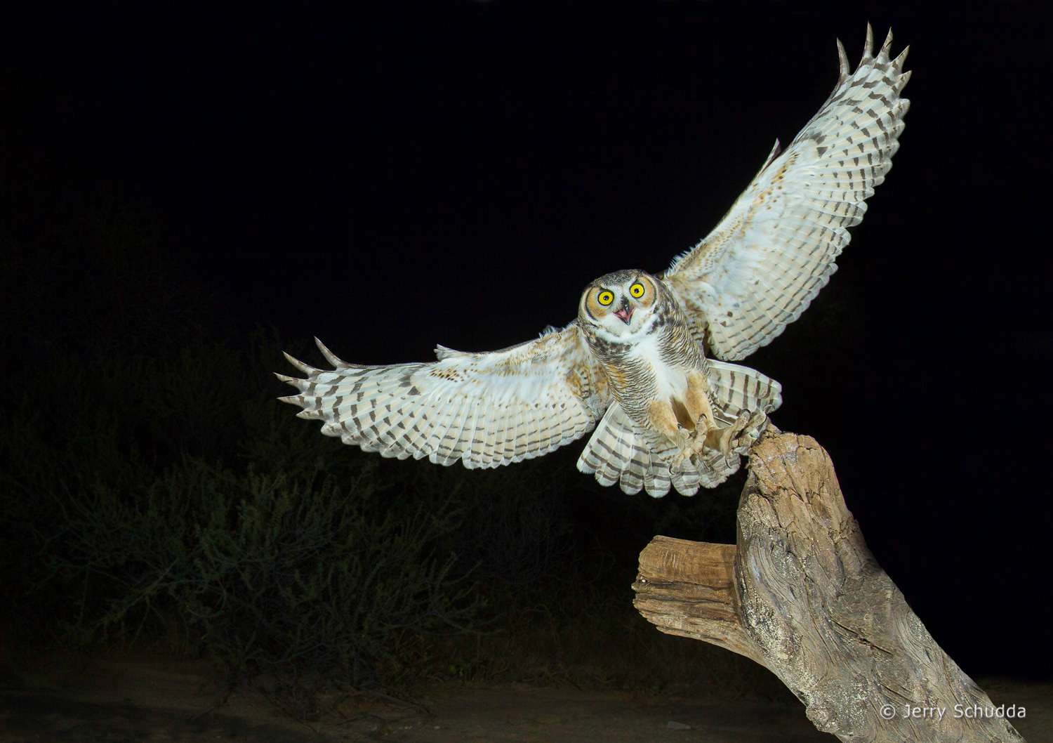 Great Horned Owl 17