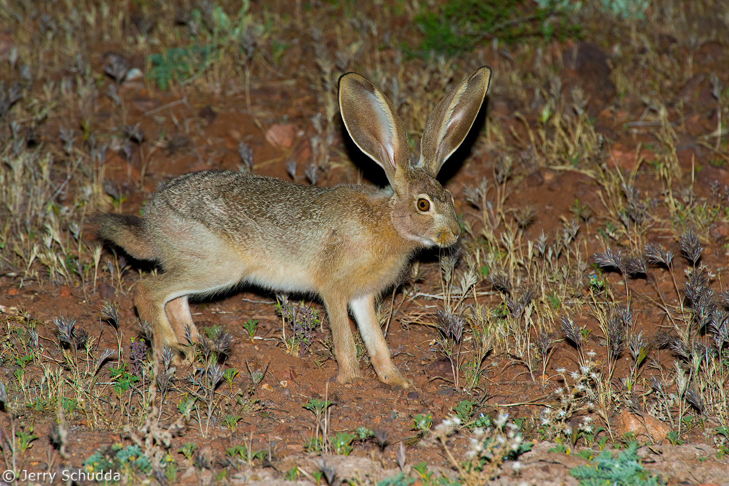 Black-tailed Jackrabbit 1