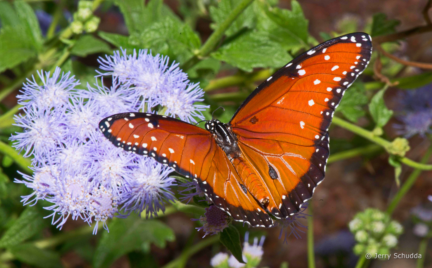 Queen Butterfly on host plant Blue Mist
