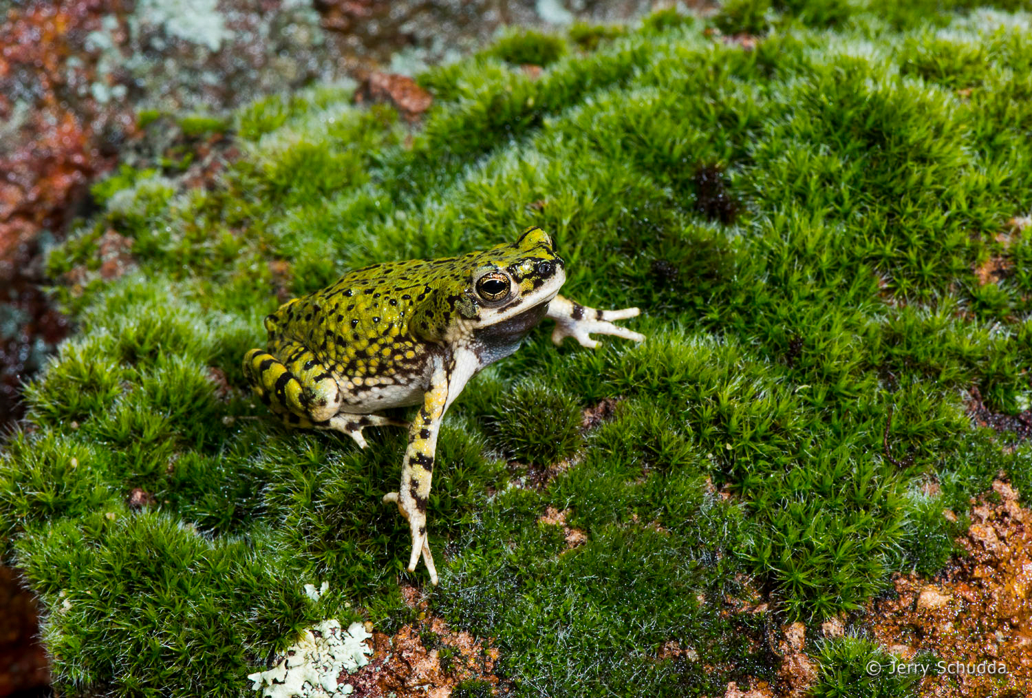 Green Toad 3