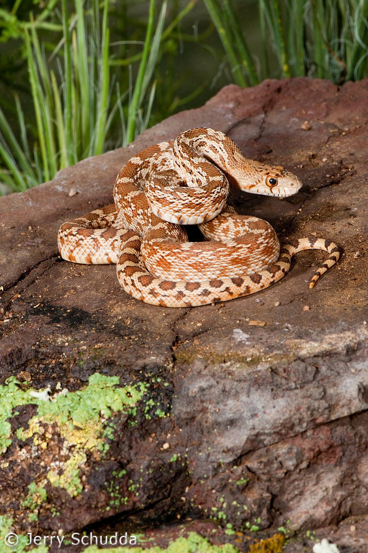 Gopher Snake 4