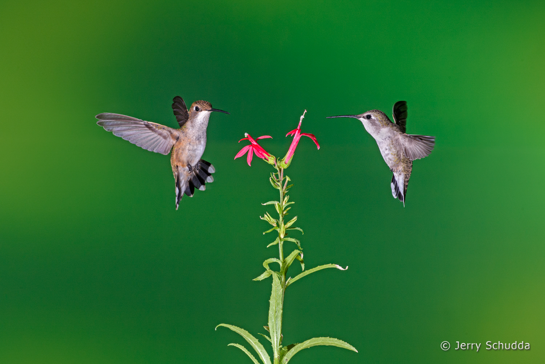 Black-chinned Hummingbird  3