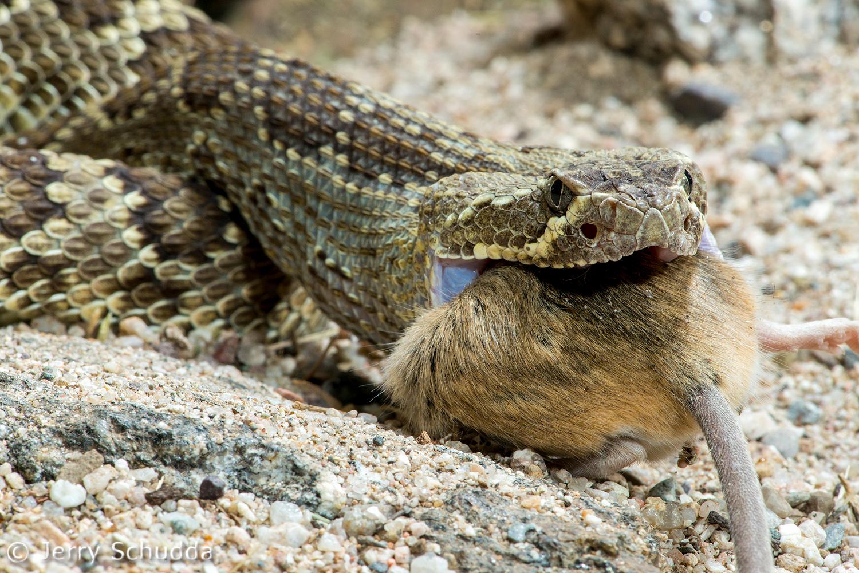 Mohave Rattlesnake 9