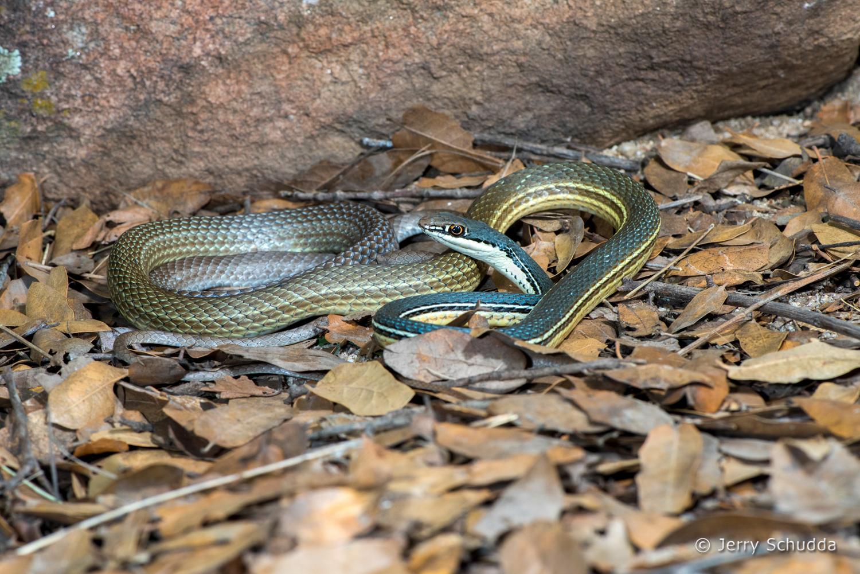 Sonoran Whipsnake 2