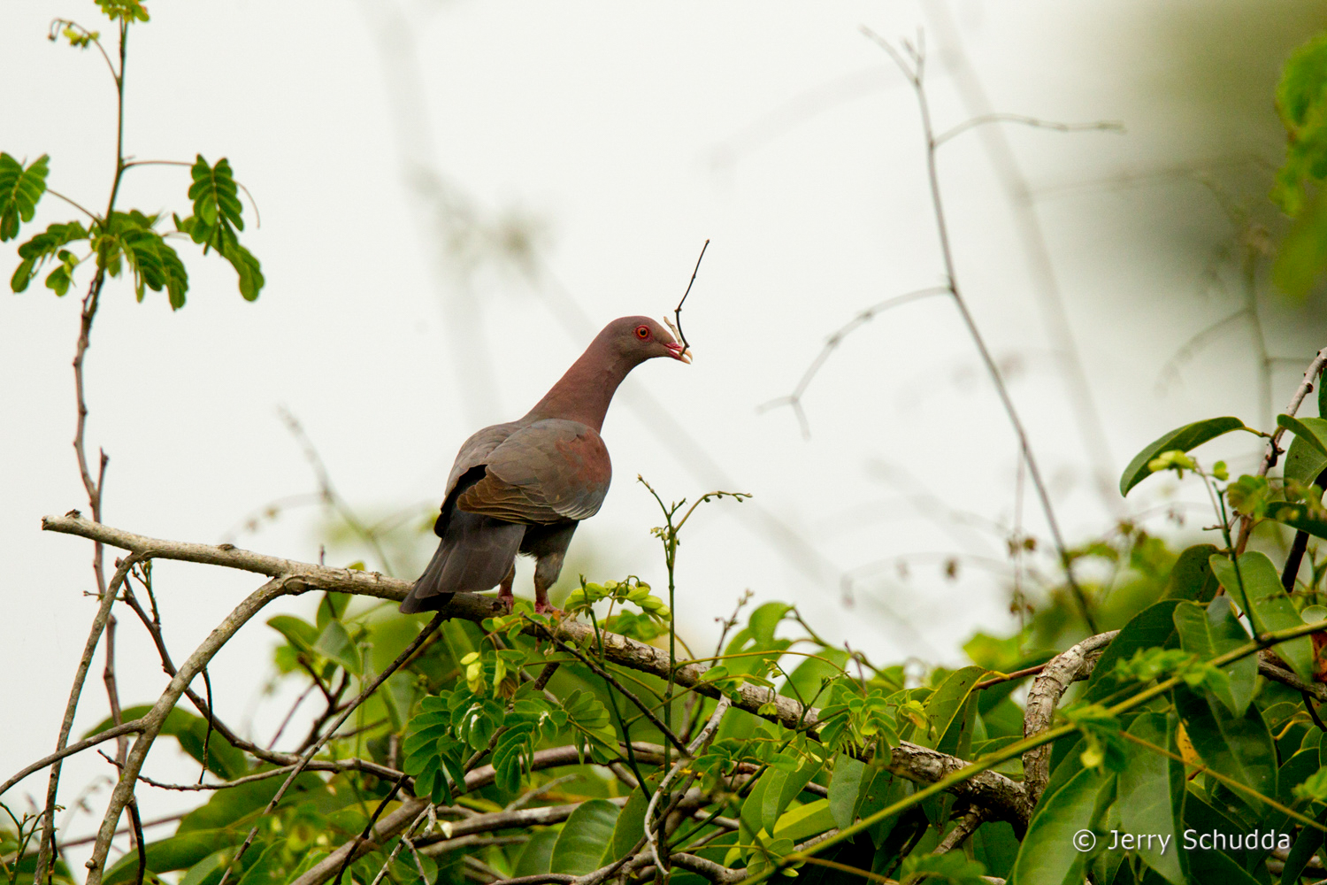 Red-billed Pigeon 1