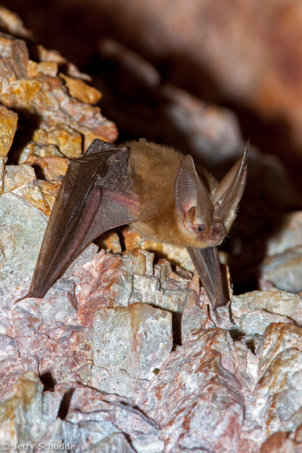 Townsend's Big-eared Bat 3