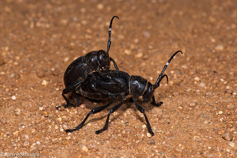Cactus Longhorn Beetle 1