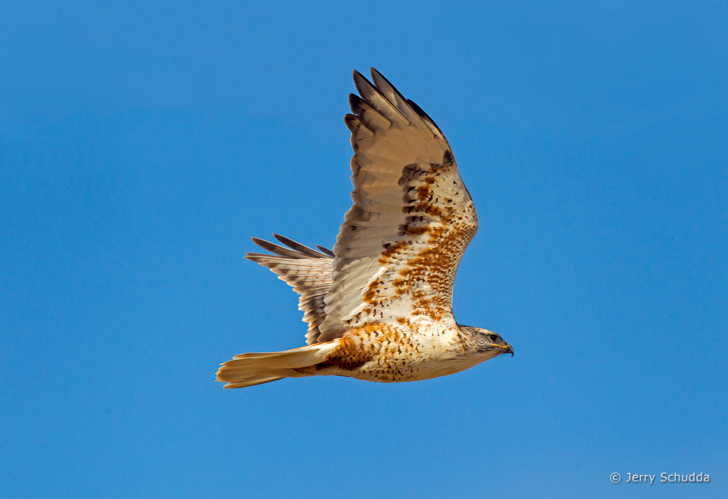 Ferruginous Hawk 4