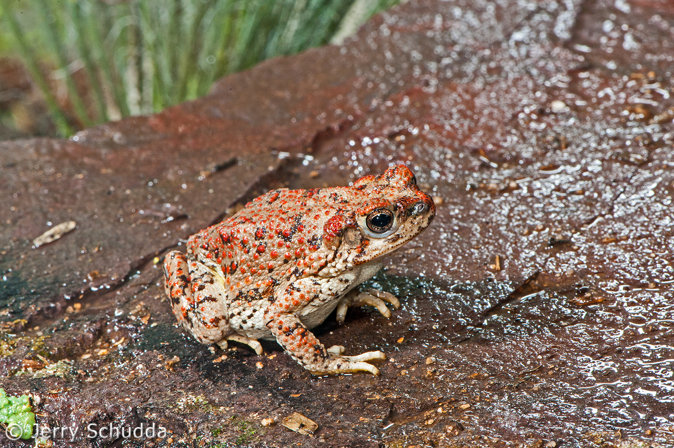 Red-spotted Toad 2