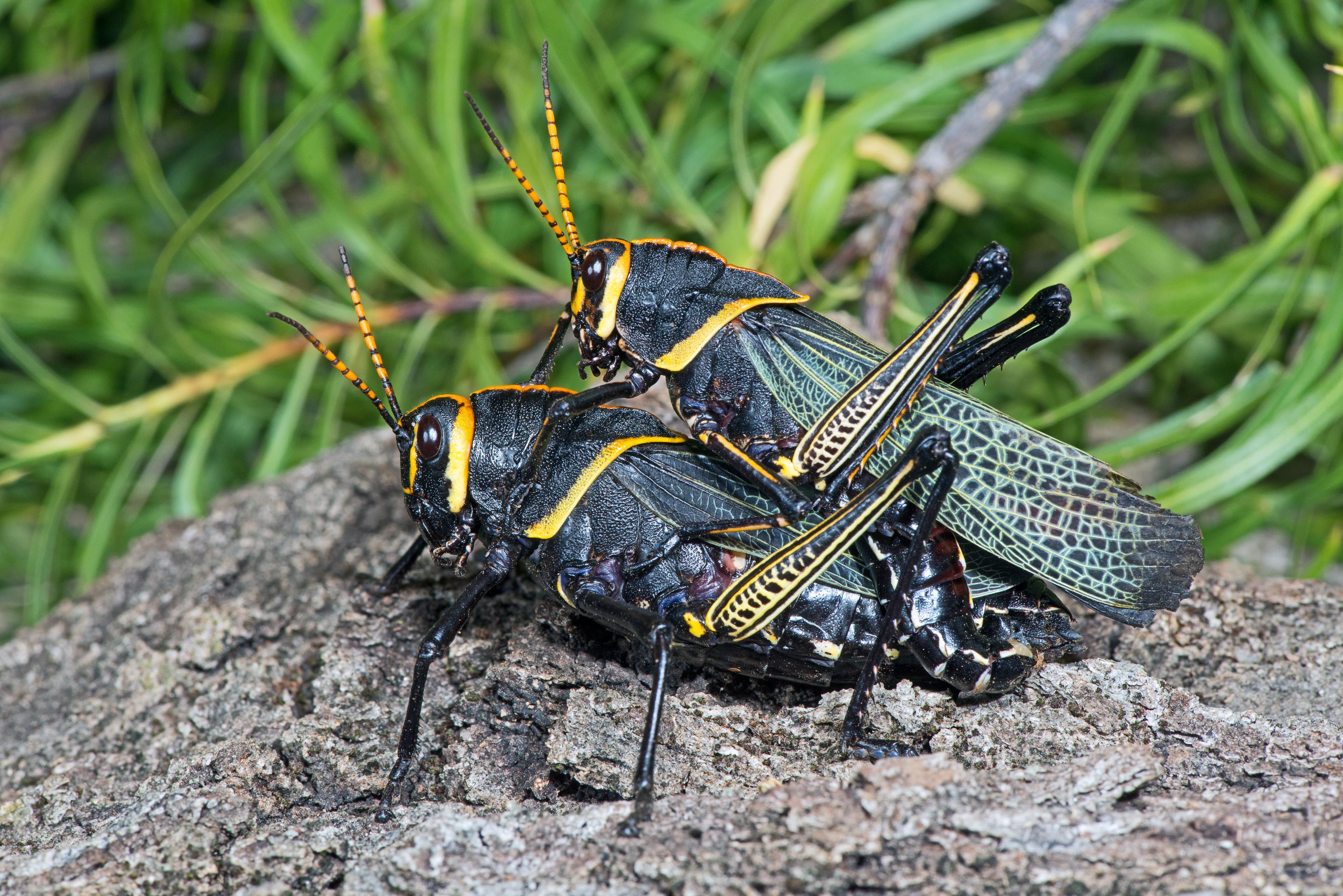 Horse Lubber Grasshopper 1