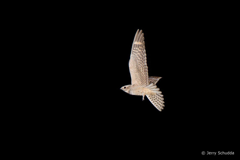 Lesser Nighthawk 6