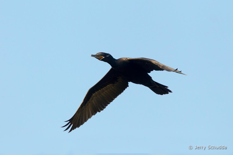 Neotropic Cormorant 3
