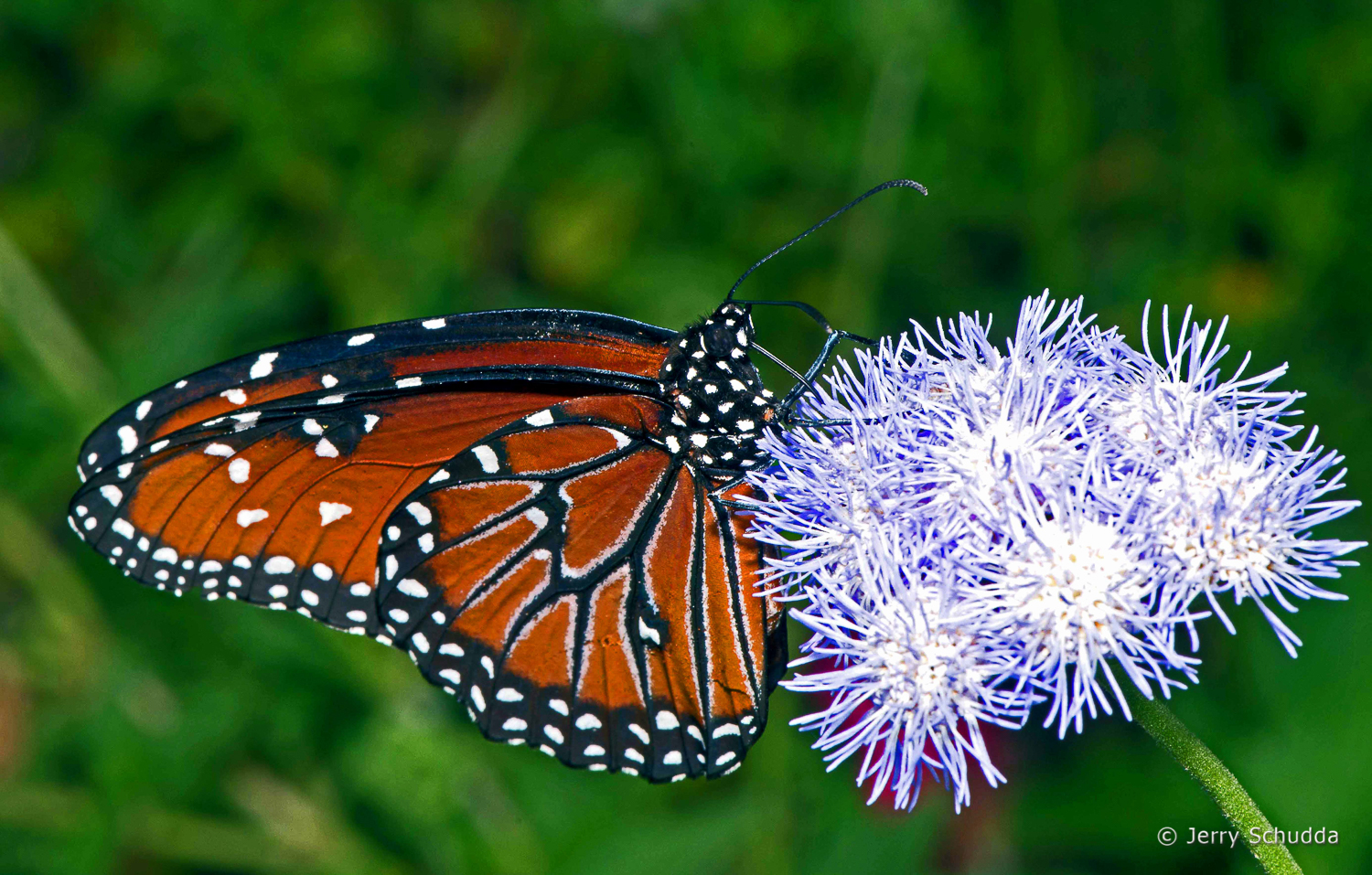 Queen Butterfly on host plant Blue Mist 1