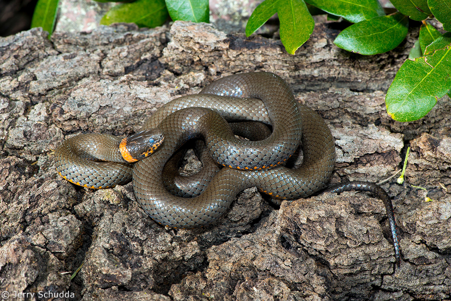 Ring-necked Snake 1