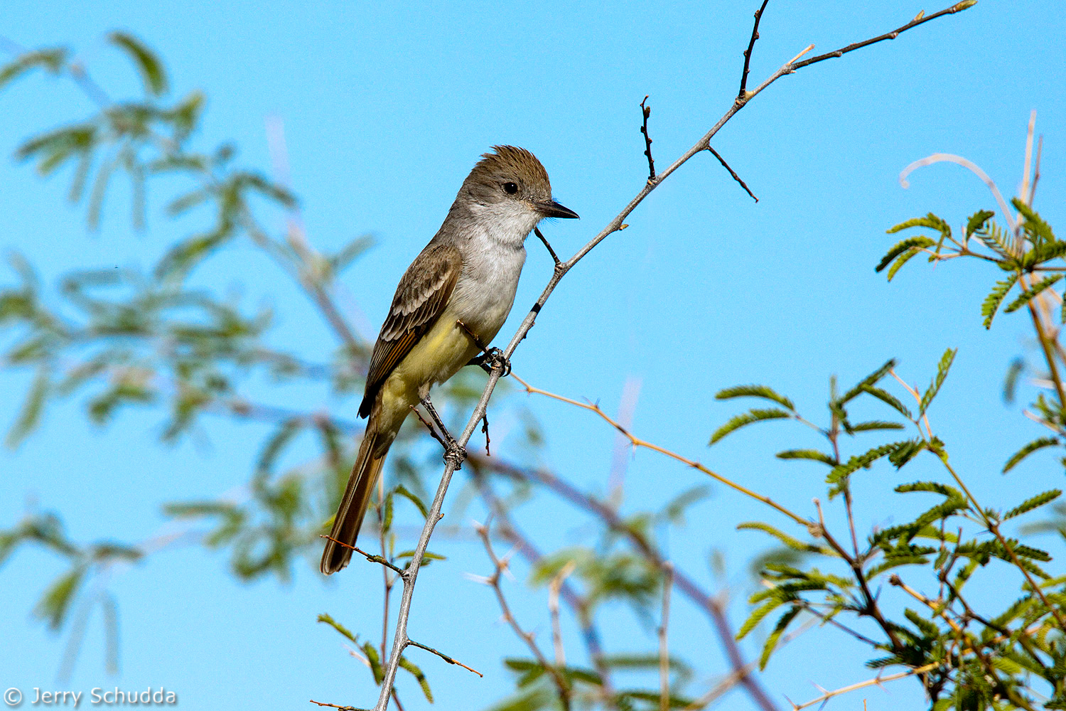 Ash-throated Flycatcher 2