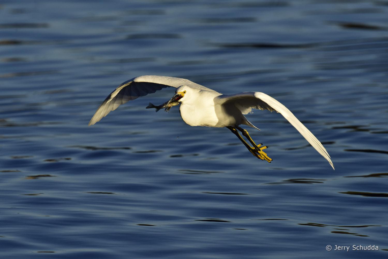 Snowy Egret 9