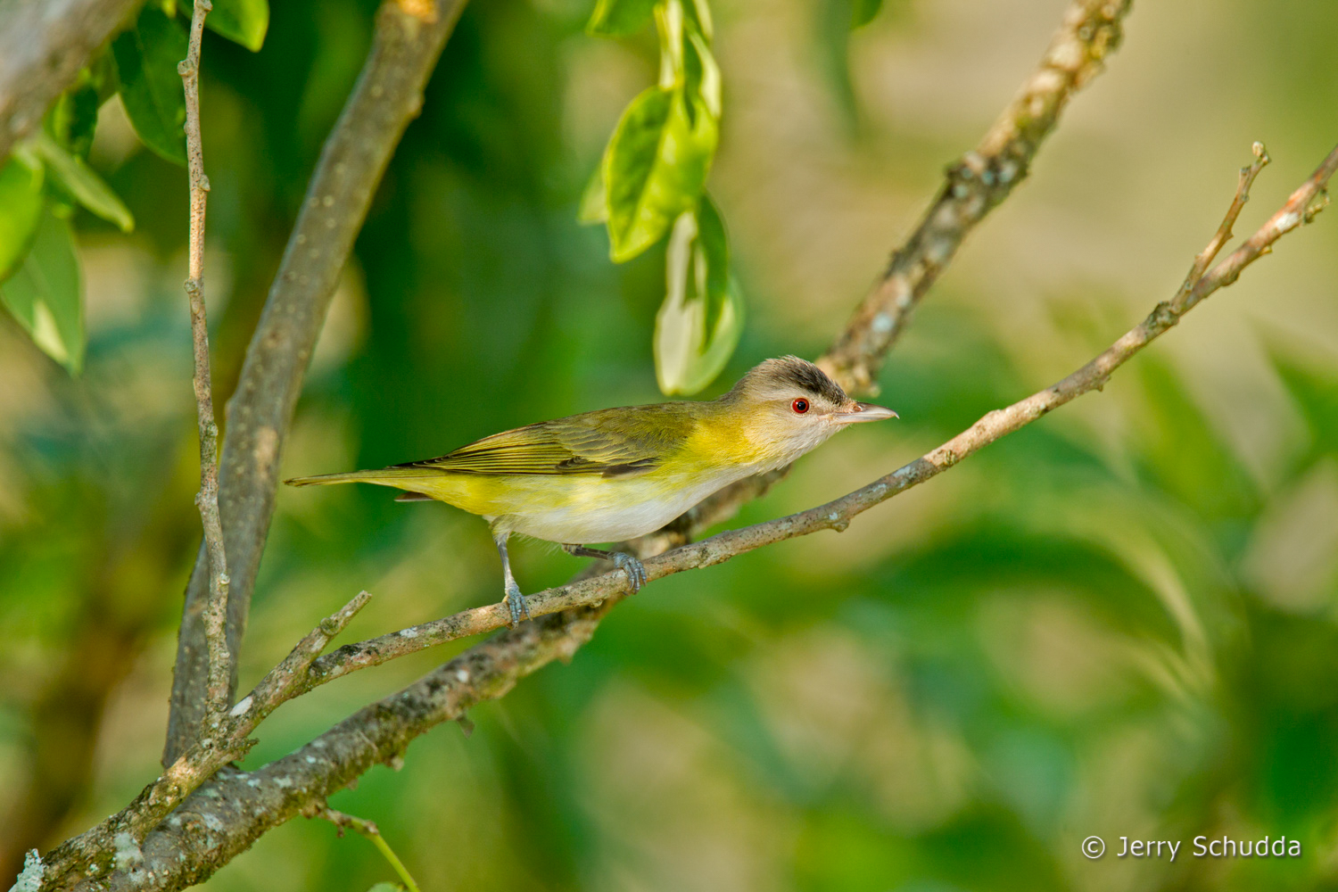 Yellow-green Vireo 3