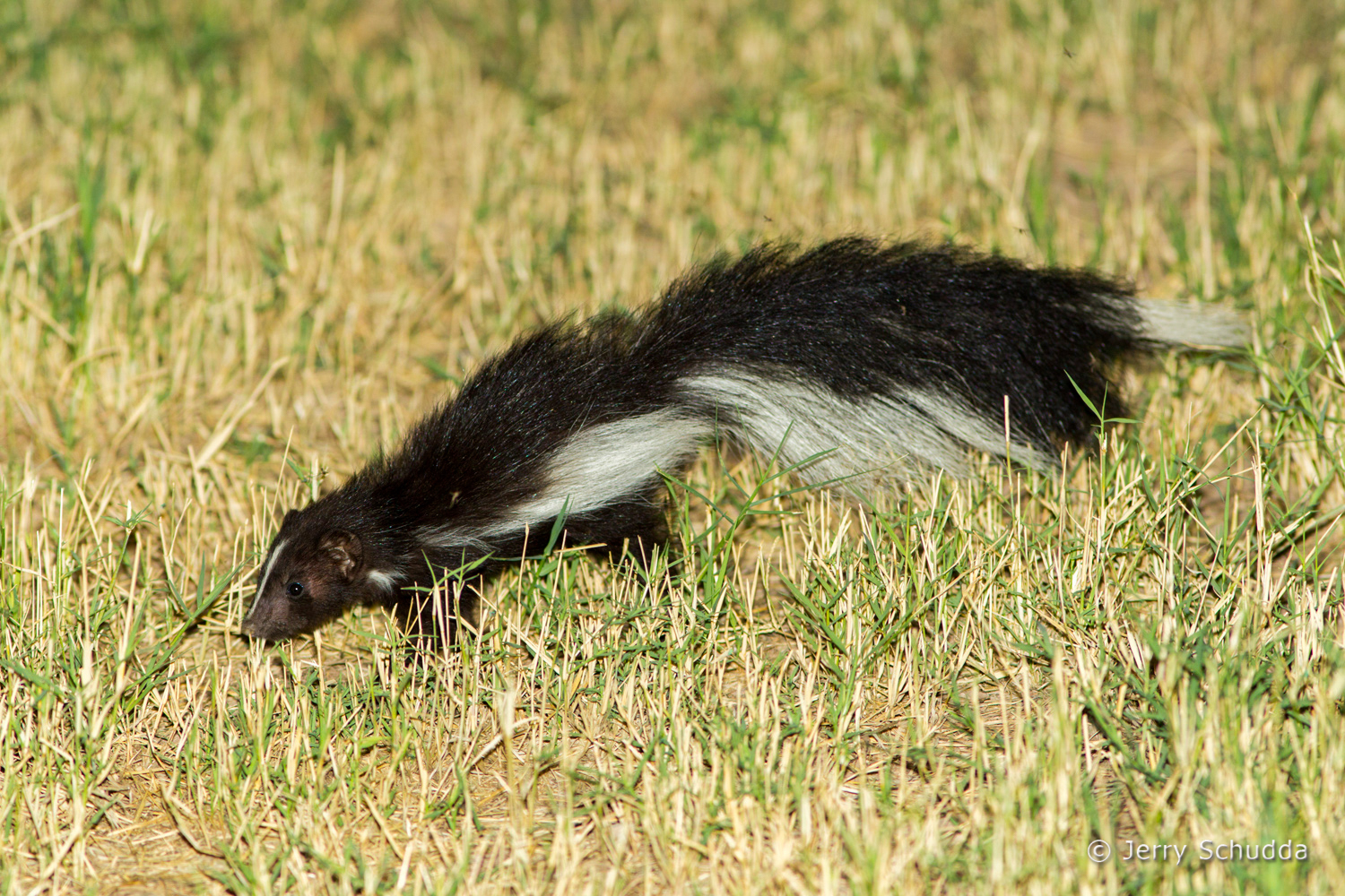Hooded Skunk 6