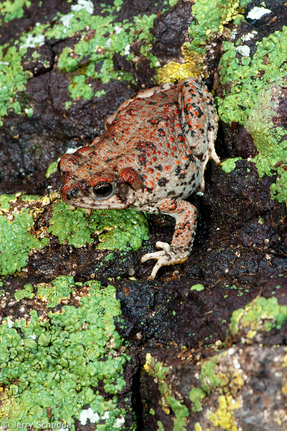 Red-spotted Toad 1