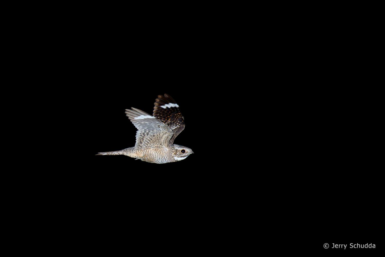 Lesser Nighthawk 3
