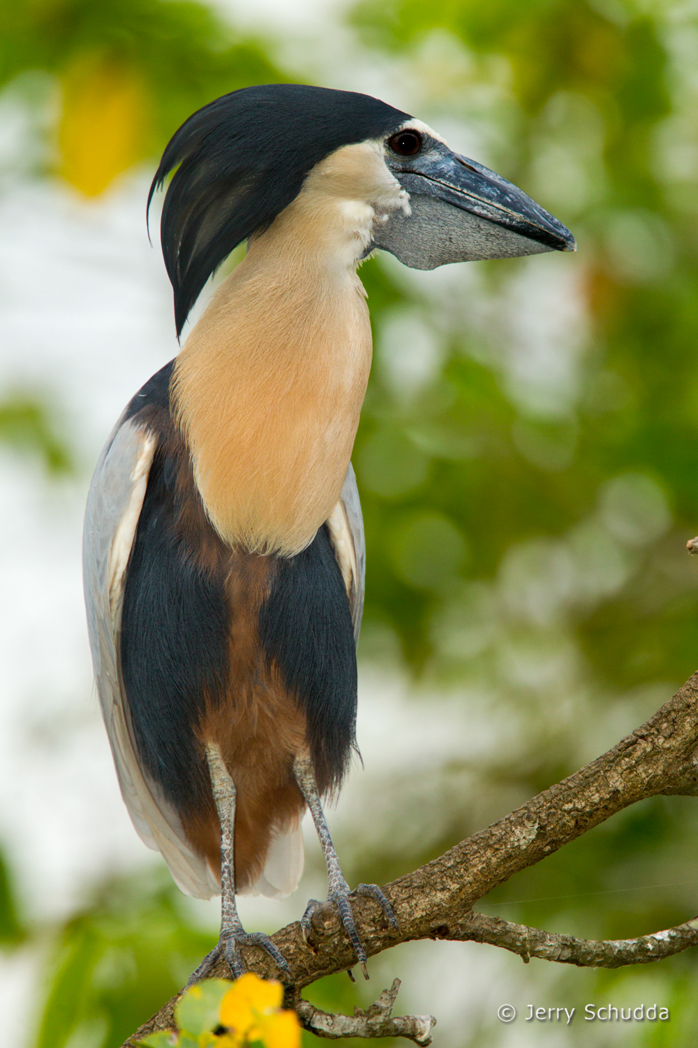 Boat-billed Heron 2