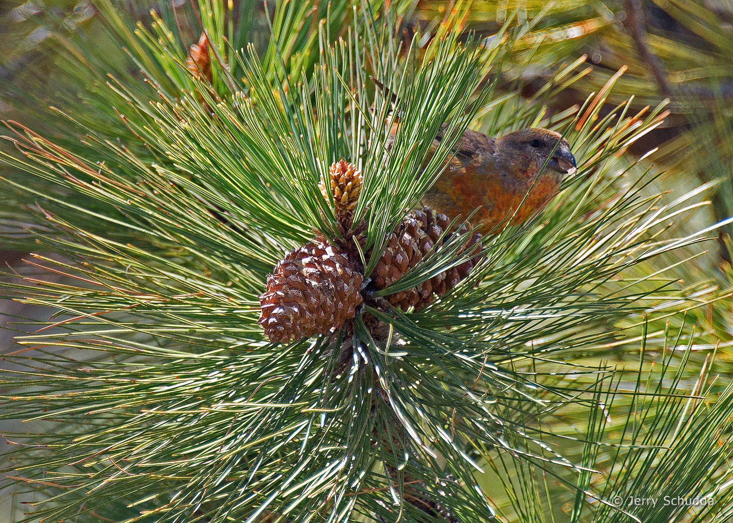 Red Crossbill 2