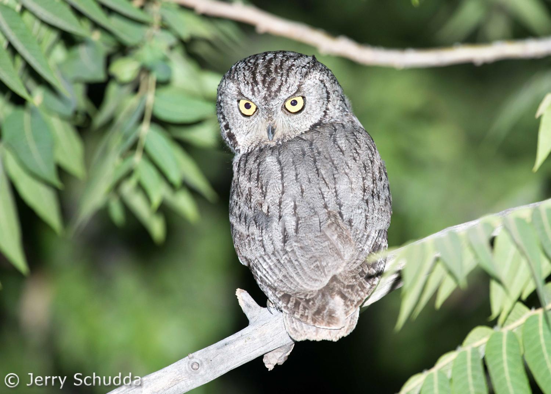 Western Screech Owl 2
