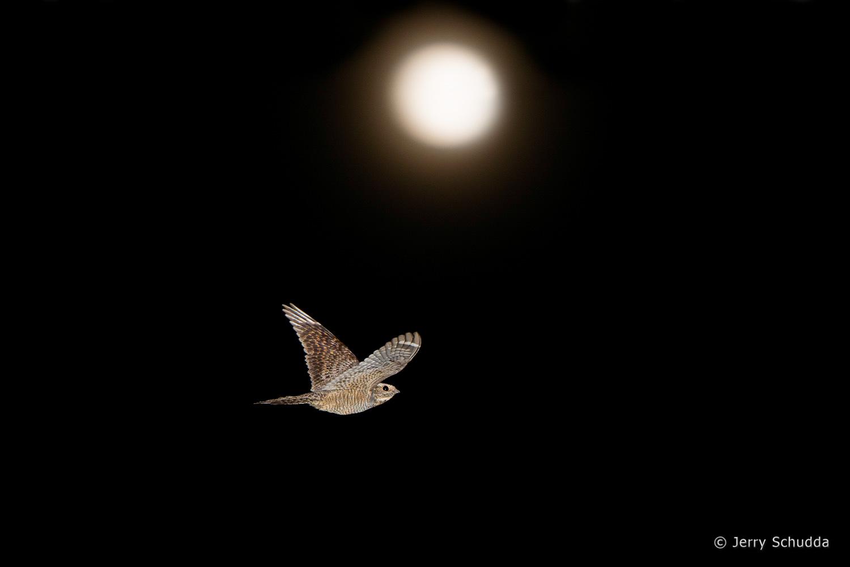 Lesser Nighthawk 5