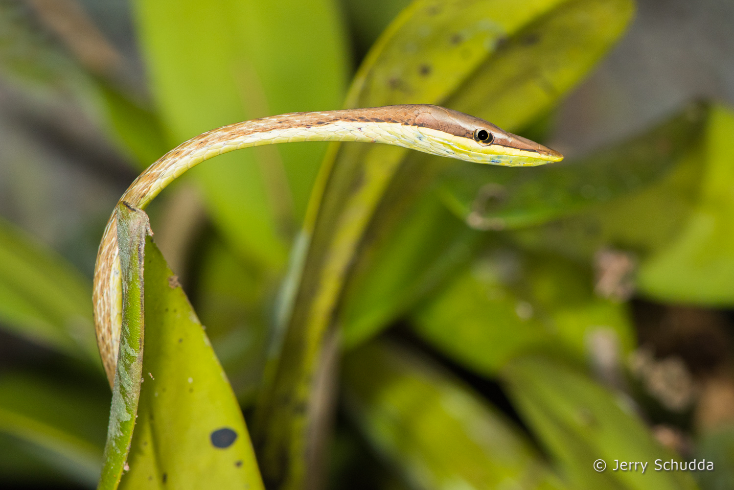 Brown Vine Snake 1