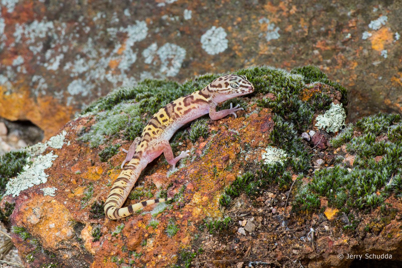 Western Banded Gecko 3