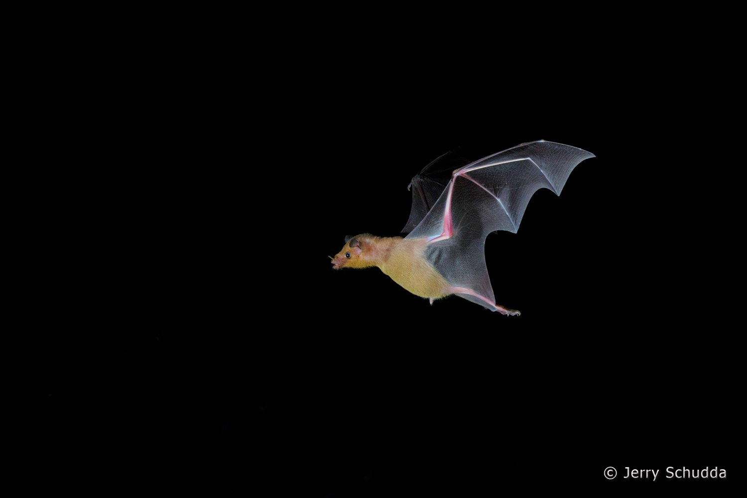 Lesser Long-nosed Bat  1