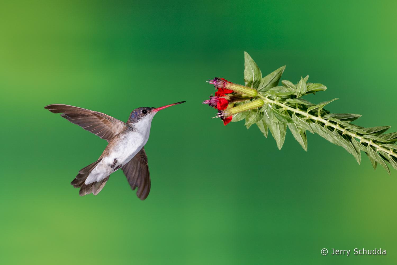 Violet-crowned Hummingbird  1
