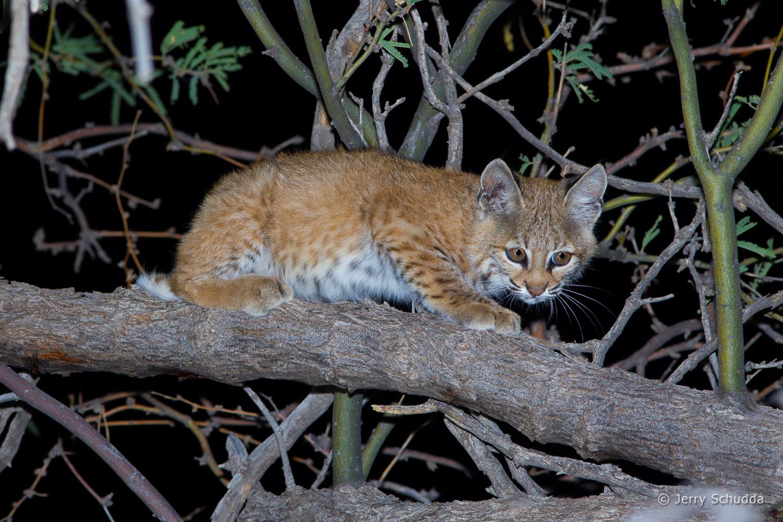 Bobcat juvenile 6