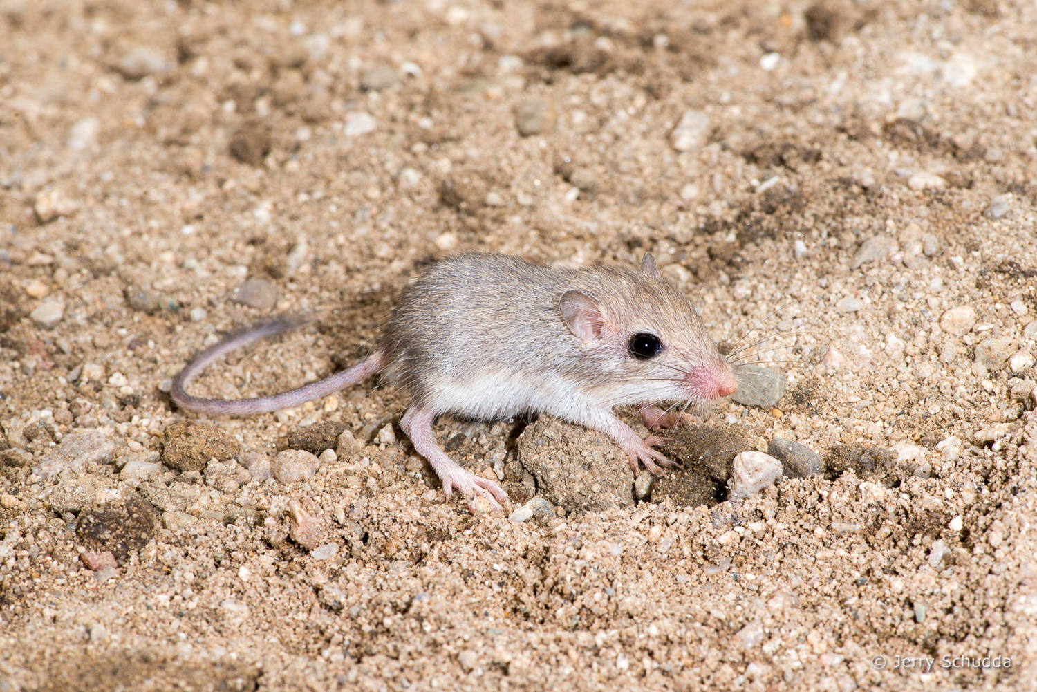 Desert Pocket Mouse 1