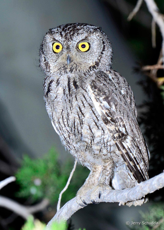 Western Screech Owl 4