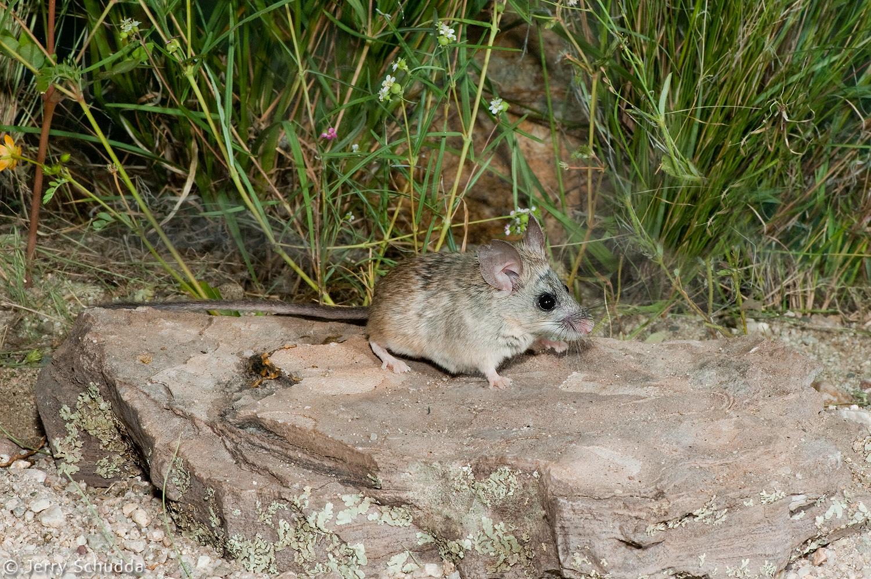 Pinyon Mouse 1
