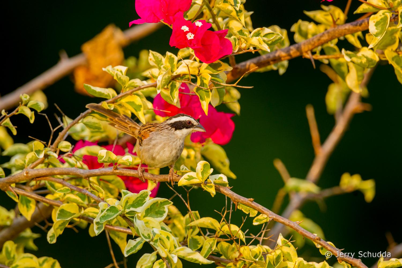 Stripe-headed Sparrow 1