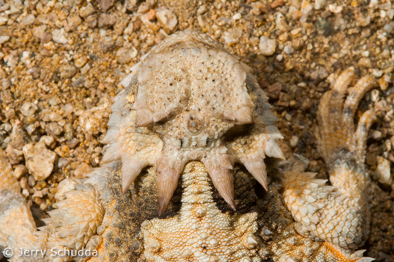 Desert Horned Lizard 4
