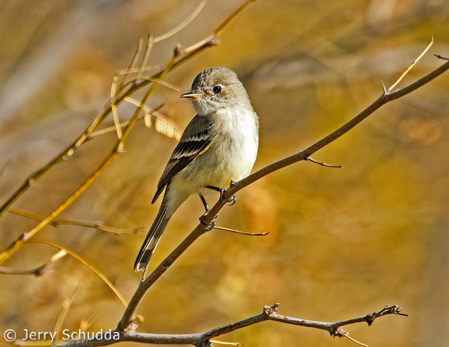 Gray Flycatcher 2