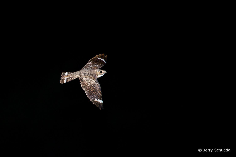 Lesser Nighthawk 4