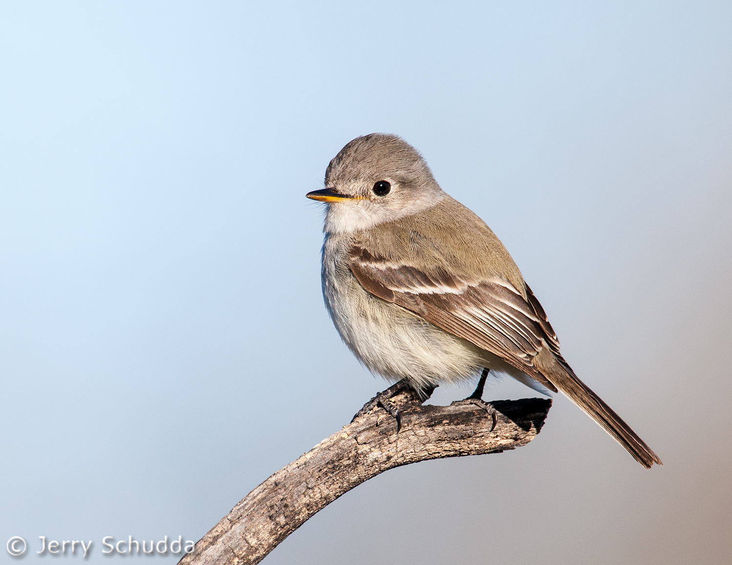 Gray Flycatcher 1