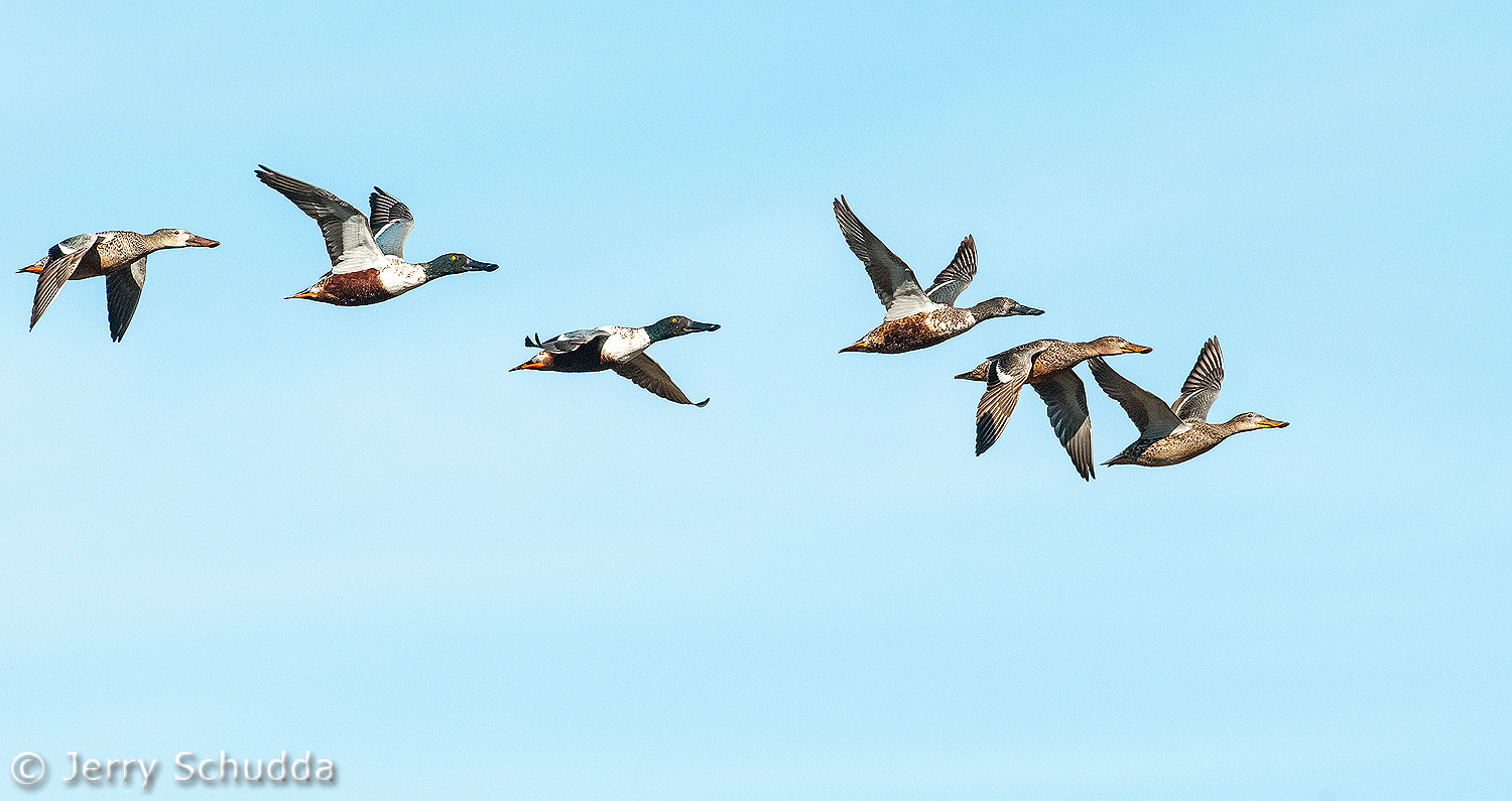 Flight of Northern Shovelers 1