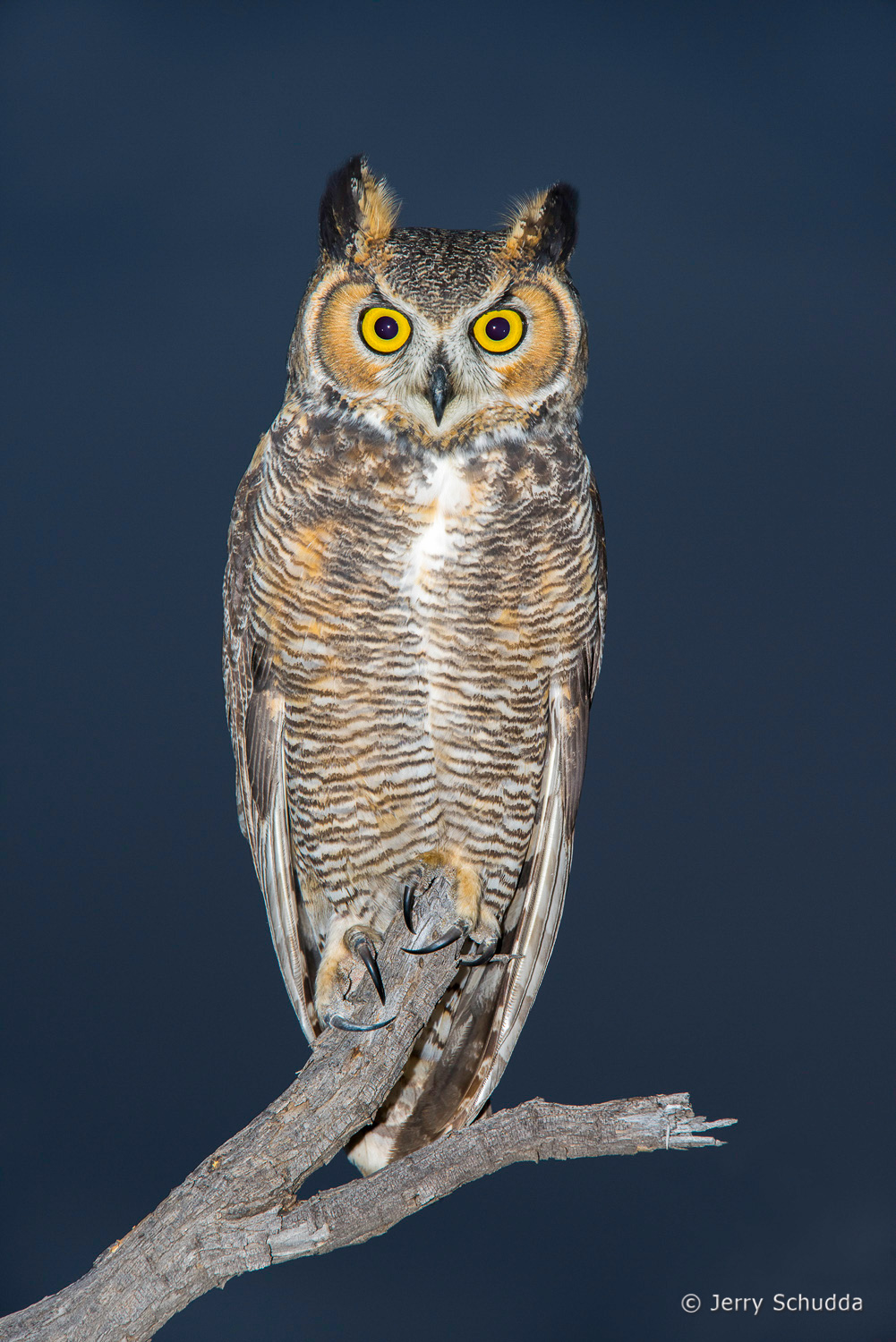 Great Horned Owl 11